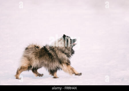 Young Keeshond, Keeshonden dog walk in snowy winter park - Stock Photo