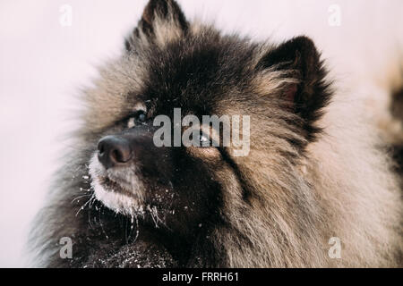 Close up of lovely Young Keeshond, Keeshonden dog in snow, winter season. - Stock Photo
