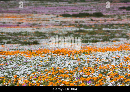 Spring wild flowers, Postberg section, West Coast National Park, Western Cape, South Africa - Stock Photo