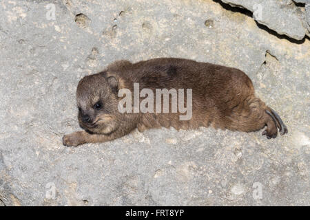Rock hyrax (dassie) (Procavia capensis), baby, De Hoop nature reserve, Western Cape, South Africa - Stock Photo