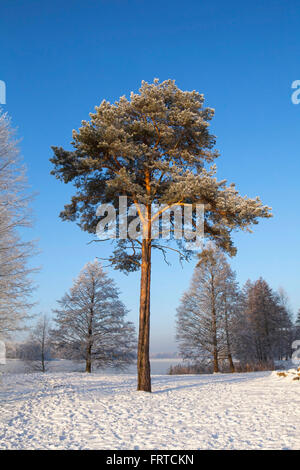 Scots pine (Pinus sylvestris L.) in winter time. - Stock Photo