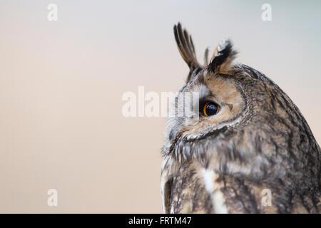 Long Eared Owl Asio otus single side profile in UK - Stock Photo