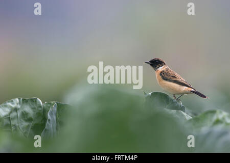 Siberian stonechat or Asian stonechat Saxicola maurus single male on green leafy vegetables farmland at Long Valley - Stock Photo