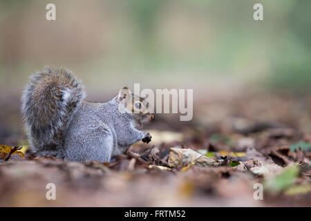 Grey Squirrel Sciurus carolinensis Single on ground eating among fallen leaves at Tehidy Cornwall UK - Stock Photo