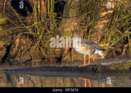 Graugans, (Anser anser), Hamburg, Deutschland, Europa / Gray goose, (Anser anser), Hamburg, Germany, Europe - Stock Photo