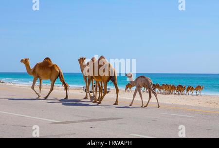 Camels on the road near Al Mughsayl, Oman - Stock Photo
