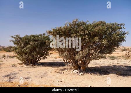 Boswellia tree - frankincense, olibanum-tree, in Dhofar, Oman. - Stock Photo