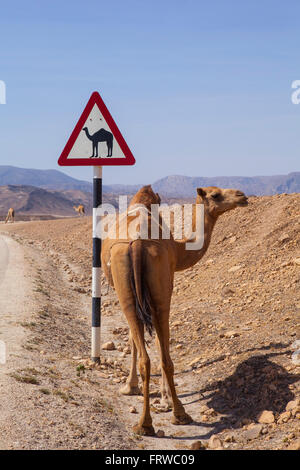 Camel crossing road sign in Oman road - Stock Photo
