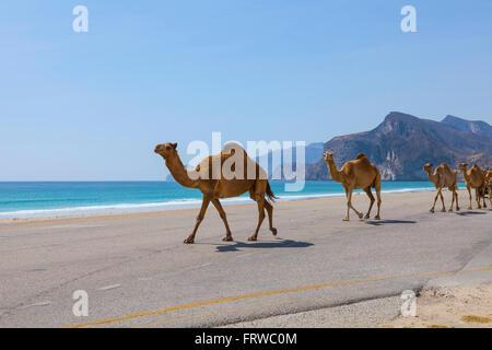 Camels on the road near Al Mughsayl. - Stock Photo