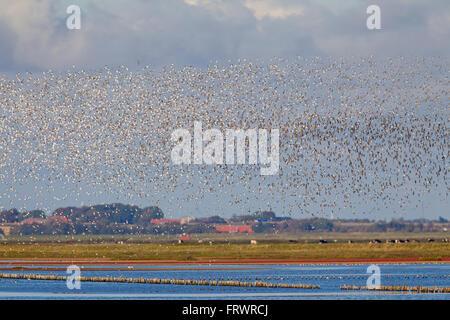 Dunlin (Calidris alpina), flock of dunlins in flight, Wadden Sea National park, Schleswig-Holstein, Germany - Stock Photo