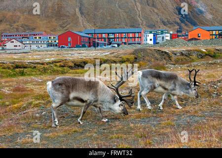 Svalbard reindeer (Rangifer tarandus platyrhynchus) two bulls grazing in Longyearbyen Svalbard / Spitsbergen, Norway - Stock Photo