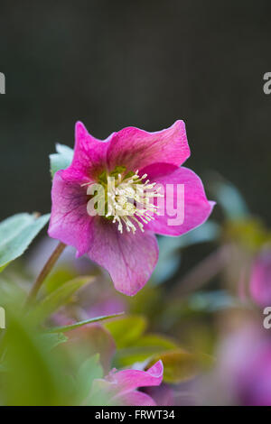 Hellebore; Purple; Spring; Cornwall; UK - Stock Photo