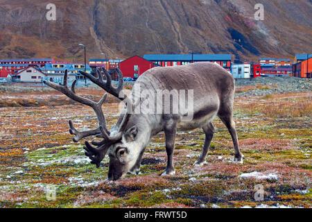 Svalbard reindeer (Rangifer tarandus platyrhynchus) bull grazing in Longyearbyen Svalbard / Spitsbergen, Norway - Stock Photo