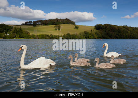 Mute Swan; Cygnus olor Family Group; Two Adults; Four Cygnets Cornwall; UK - Stock Photo