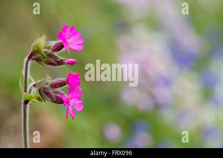 Red Campion; Silene dioica Flowers  Cornwall; UK - Stock Photo