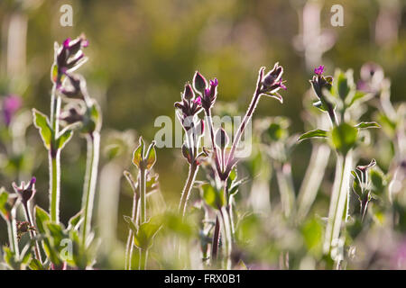 Red Campion; Silene dioica Flowers Backlit Cornwall; UK - Stock Photo