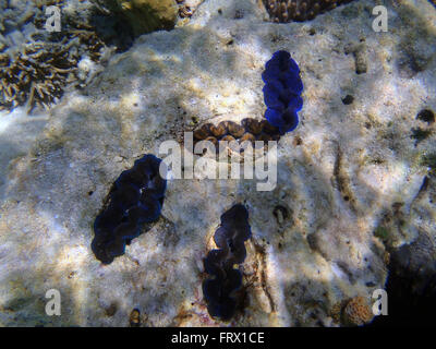 Group of Giant Clams, Tridacna maxima - Stock Photo