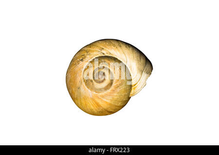 Cut Out Large Light Brown Northern Moon Snail shell (Euspira heros) isolated on white background - Stock Photo