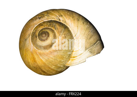 Cut Out. Large Light Brown Northern Moon Snail Shell isolated on white background - Stock Photo