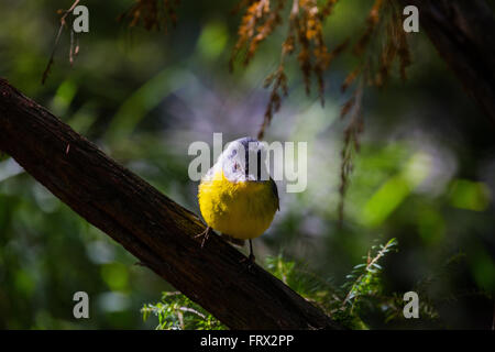 Birds of Australia - Birds photographed within Australia both wild and in captivity, Native and Non-native - Stock Photo