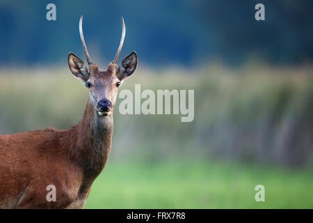 Red deer in the wild, a portrait - Stock Photo