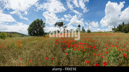 Country house with poppy field, pine trees and cypress trees, near Chiusi, province of Siena, Tuscany, Italy - Stock Photo