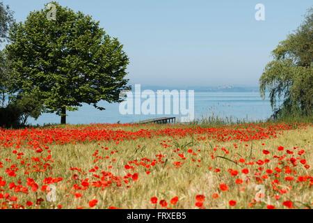 Poppy field at the lake shore  near San Feliciano, Lago Trasimeno, province of Perugia, Umbria, Italy, Europe - Stock Photo