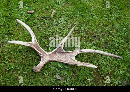 Moose antler, Biebrza National Park, Podlaskie Voivodeship, Poland - Stock Photo