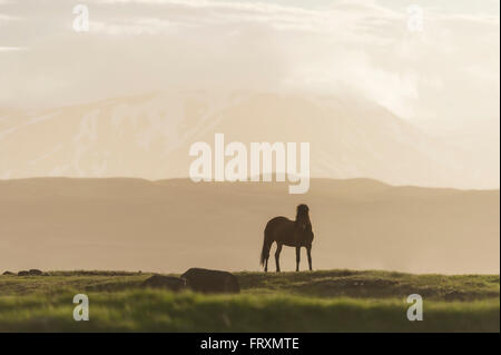 Iceland, Icelandic horse on meadow with volcanoes in background - Stock Photo