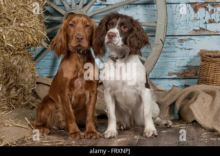 english cocker spaniel and english springer spaniel - Stock Photo