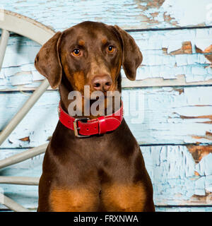 dobermann, doberman pinscher - Stock Photo