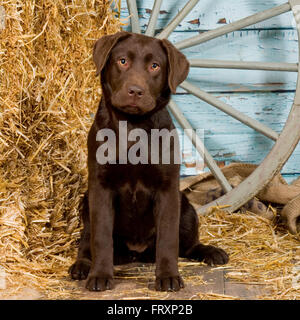 labrador retriever puppy, chocolate - Stock Photo