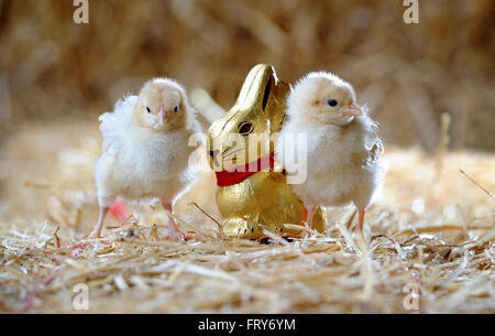 Smithills Open Farm, Bolton, UK. 24th March, 2016. A pair of newly hatched chicks are very egg-cited for Easter - Stock Photo