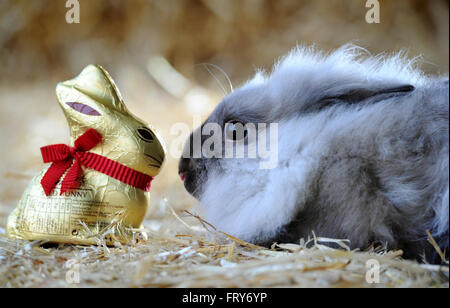 Smithills Open Farm, Bolton, UK. 24th March, 2016. A Lion Head rabbit is very egg-cited for Easter as it sizes up - Stock Photo
