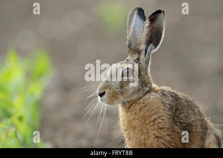 Brown Hare / European Hare / Feldhase ( Lepus europaeus ), close up, head shot, sitting on a corn field, nice soft - Stock Photo