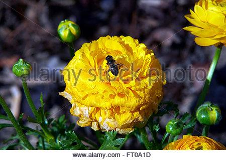 Common Drone fly Eristalis tenax i yellow petals of Rununculus springtime flowers - Stock Photo