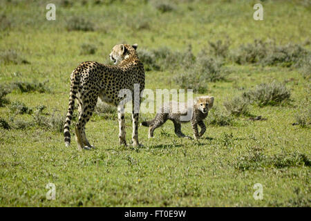 Female cheetah and cub, Ngorongoro Conservation Area (Ndutu),  Tanzania - Stock Photo