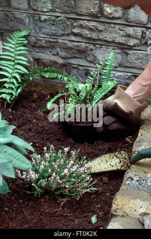 Close-up of hands planting ferns and heather in a newly made garden bed - Stock Photo