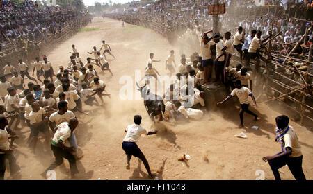 Jallikattu bull taming during Pongal festival at Palamedu near Madurai ; Tamil Nadu ; India - Stock Photo