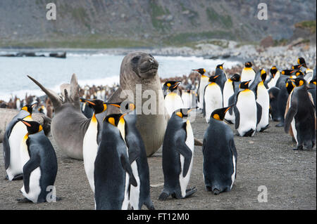 A sea lion amidst a large group of Emperor Penguins Aptenodytes forsteri on beach, Gold Harbour, South Georgia Island, - Stock Photo