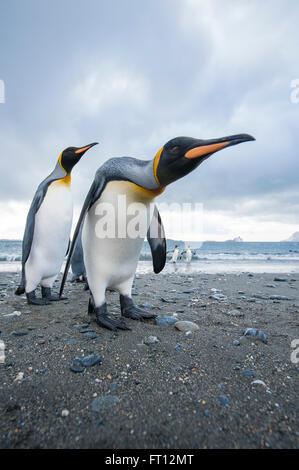 King Penguins Aptenodytes patagonicus on a beach, Salisbury Plain, South Georgia Island, Antarctica - Stock Photo
