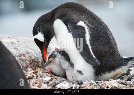 A Gentoo Penguin Pygoscelis papua mother feeding her two chicks, Port Lockroy, Wiencke Island, Antarctica - Stock Photo
