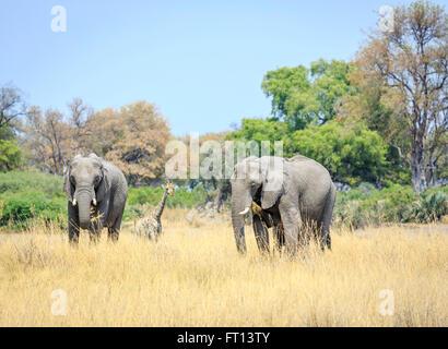Two African bush elephants (Loxodonta africana) in savannah grassland eating grass, giraffe behind, Sandibe Camp, Moremi Game Reserve, Kalahari