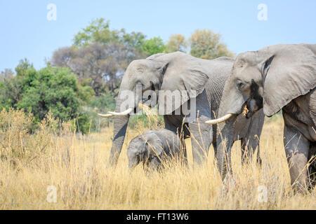 Three African bush elephants (Loxodonta africana), mother and baby, Sandibe Camp, Moremi Game Reserve, Okavango Delta, Kalahari, Botswana, Africa