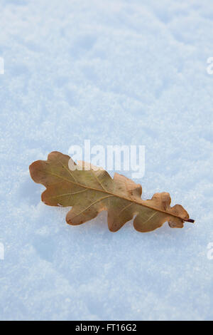 A single oak leaf lying on a bed of deep white snow as it has fallen from the tree during a winter in the cotswolds, - Stock Photo