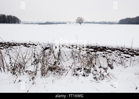 A solitary tree stands in a hedgerow in the cotswolds, the countryside is covered in snow in the middle of winter. - Stock Photo
