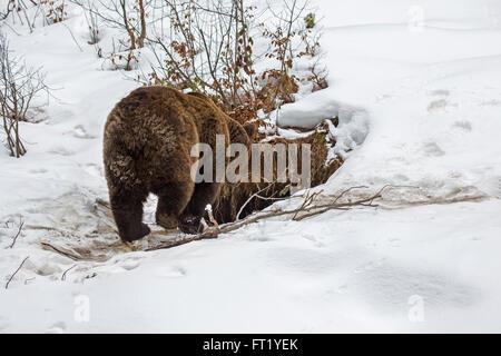 Brown bear (Ursus arctos) entering den in the snow in autumn / winter - Stock Photo