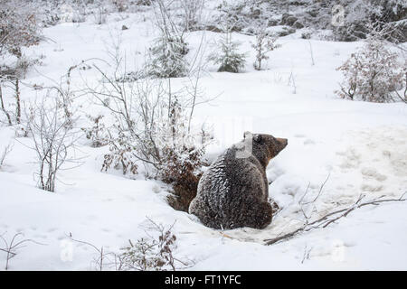 Brown bear (Ursus arctos) entering den during snow shower in autumn / winter - Stock Photo