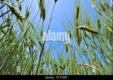 Worm's-eye view on barley ears (Hordeum vulgare) in field in spring - Stock Photo