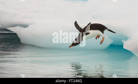 Gentoo Penguin jumping in the water - Stock Photo